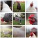 DanBigelow Chickens3x3